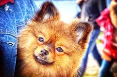 Perro feliz de Pomeranian de la cara Fotografía de archivo