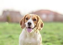 Perro feliz del beagle al aire libre Foto de archivo libre de regalías
