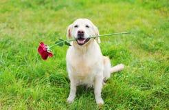 Perro feliz del golden retriever que sostiene la flor roja en dientes en hierba Foto de archivo