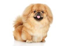 Perro feliz del pekinés imagenes de archivo