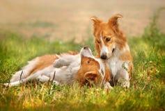 Perro feliz dos que pone en la hierba Foto de archivo