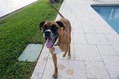 perro feliz en el patio trasero de un hogar Imagen de archivo libre de regalías