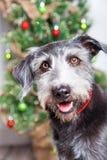 Perro feliz en Front Of Christmas Tree Fotos de archivo libres de regalías
