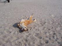 Perro feliz en la playa Imagen de archivo libre de regalías