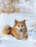 Perro feliz en nieve Foto de archivo
