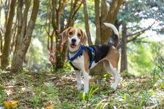 Perro feliz lindo del beagle que vaga en el bosque fotografía de archivo