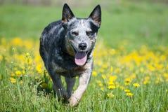 Perro feliz que corre a través de un prado con los dientes de león Imagen de archivo libre de regalías