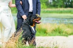 Perro feliz Rottweiler con una camisa hermosa en su cuello en un correo que se sienta al lado de la novia y del novio en el veran imagenes de archivo