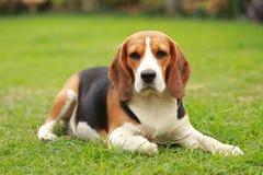 Perro femenino criado en línea pura del beagle que se acuesta en césped Foto de archivo