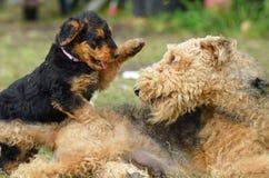 Perro femenino de Airedale Terrier de la presa que juega con su perrito foto de archivo