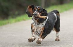 Perro femenino de Basset Hound foto de archivo libre de regalías