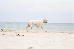 Perro femenino del boxeador en la playa Imagen de archivo