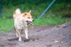 Perro femenino del inu del shiba en parque del perro Imagen de archivo libre de regalías