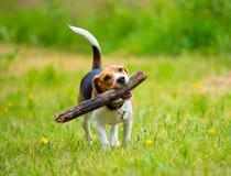 Perro femenino joven del beagle con el palillo imagen de archivo libre de regalías