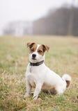 Jack Russell Terrier Imagen de archivo libre de regalías