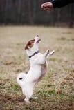 Jack Russell Terrier Fotos de archivo