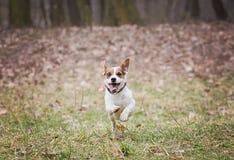 Jack Russell Terrier Imágenes de archivo libres de regalías