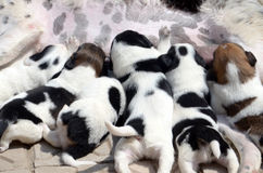 Perro femenino que le alimenta los pequeños perritos lindos que están chupando la leche Foto de archivo libre de regalías