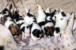 Perro femenino que le alimenta los pequeños perritos lindos que están chupando la leche Fotografía de archivo libre de regalías