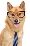 Perro finlandés del perro de Pomerania. Retrato divertido Foto de archivo