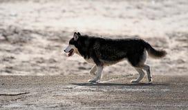 Perro fornido Fotografía de archivo libre de regalías