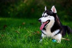 Perro fornido Fotos de archivo libres de regalías