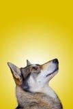 Perro fornido Imagenes de archivo