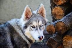 Perro fornido Imágenes de archivo libres de regalías