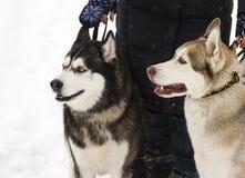 Perro fornido animal hermoso en heterochromia nevoso del invierno en el parque con la presentadora Imagen de archivo