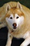 Perro fornido cómodo Fotos de archivo libres de regalías