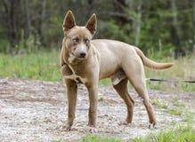 Perro fornido de la mezcla del perro del faraón del chocolate con un ojo azul Imagenes de archivo