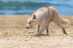Perro fornido de la raza Foto de archivo libre de regalías