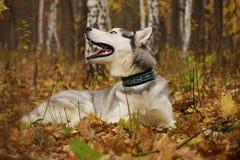 Perro fornido en bosque del otoño Foto de archivo libre de regalías