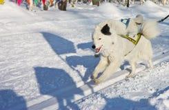 Perro fornido en el arnés que corre a través de la nieve Imágenes de archivo libres de regalías