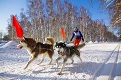 Perro fornido en el arnés que corre a través de la nieve Imagen de archivo libre de regalías