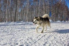 Perro fornido en el arnés que corre a través de la nieve Imagen de archivo