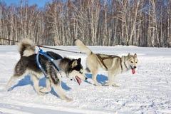 Perro fornido en el arnés que corre a través de la nieve Foto de archivo