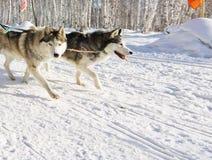 Perro fornido en el arnés que corre a través de la nieve Fotos de archivo