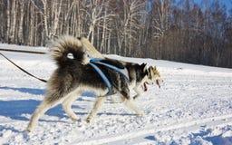 Perro fornido en el arnés que corre a través de la nieve Imagenes de archivo