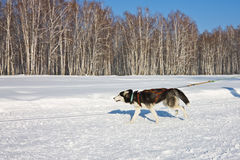 Perro fornido en el arnés que corre a través de la nieve Fotos de archivo libres de regalías