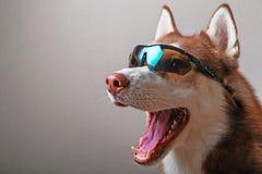 Perro fornido en gafas del esquí fotografía de archivo