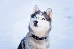 Perro fornido en invierno Animal doméstico lindo, amistoso Fotos de archivo libres de regalías