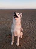 Perro fornido en una playa Fotografía de archivo