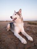 Perro fornido en una playa Fotografía de archivo libre de regalías