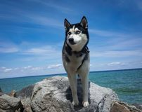 Perro fornido en una roca por el agua fotografía de archivo