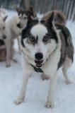 Perro fornido feliz en la nieve Imagen de archivo libre de regalías
