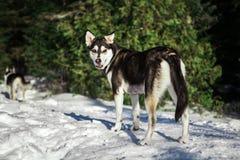Perro fornido lindo que camina alrededor de la montaña fotos de archivo libres de regalías