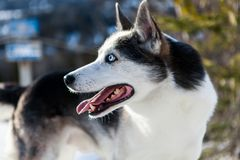 Perro fornido lindo que camina alrededor de la montaña imagen de archivo libre de regalías