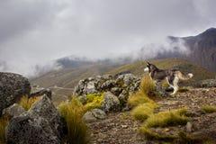 Perro fornido que mira el paisaje en la montaña Imagenes de archivo