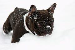 Perro francés del toro en nieve Fotografía de archivo libre de regalías